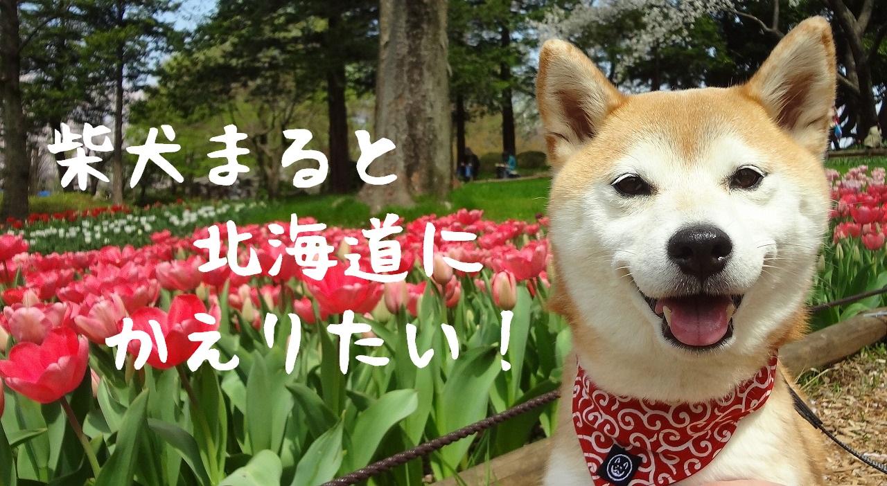 柴犬まると北海道にかえりたい