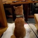 vine動画!柴犬まるはお寿司屋さんで自分のご飯が来るのをウッキウキで待っている