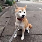 vine動画!柴犬まるは散歩で駄々をこねる。私はそっちに行きたくないの!