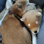 柴犬まると伊豆旅行にきています!