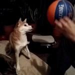 柴犬まるはバスケットボールで遊びたい!?vine動画を初投稿!