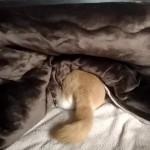 頭隠して尻隠さずな柴犬まる!東京の冬はもう寒い?コタツでぬくぬく温暖犬!