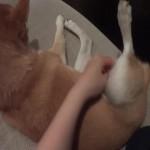 足あげとくからマッサージしておいて。上から目線(?)の柴犬動画