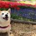 2019年フラワーフェスティバル柴犬まると昭和記念公園でチューリップを見てきたよ!
