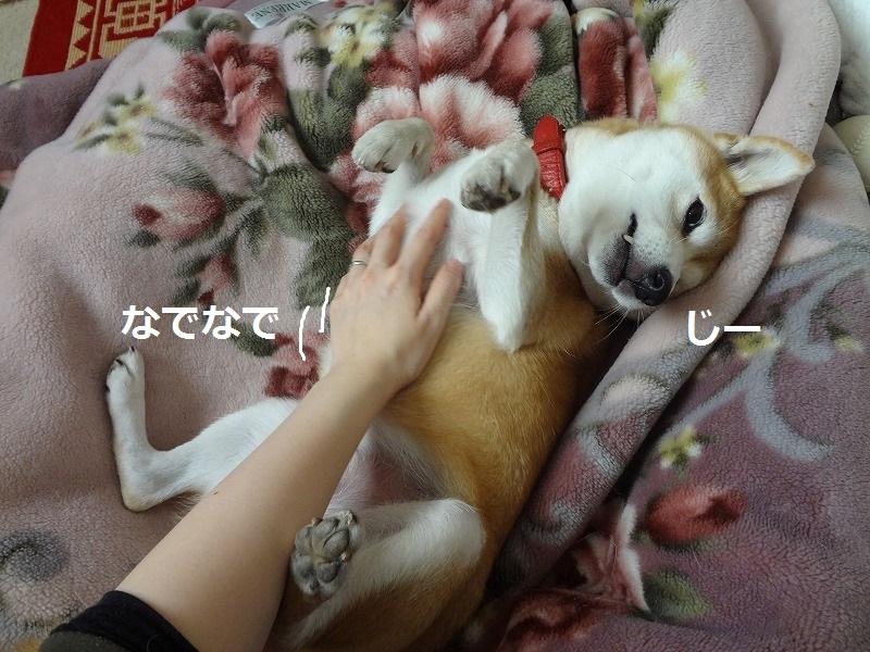 柴犬まるはお腹を撫でられると眠くなる!ぬくぬく大好き温暖犬