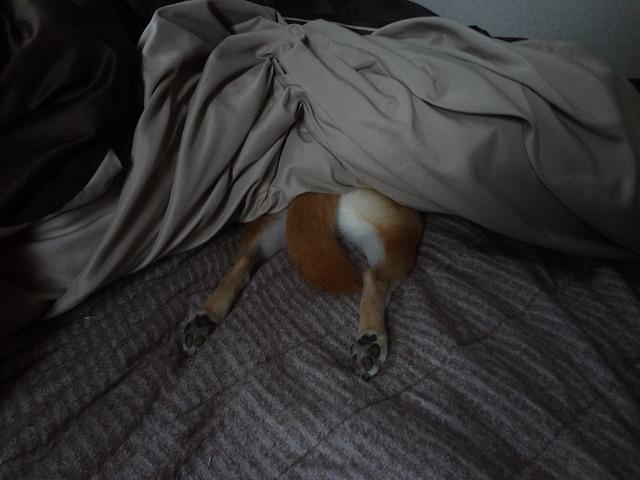 柴犬まるの寝方が可愛すぎる!毛布からとびでた足がどうみてもおかしい!