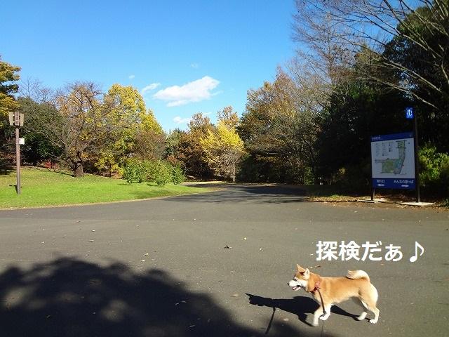 柴犬動画!立川の昭和記念公園で看板と戦う柴犬まるがまぬけで笑える!