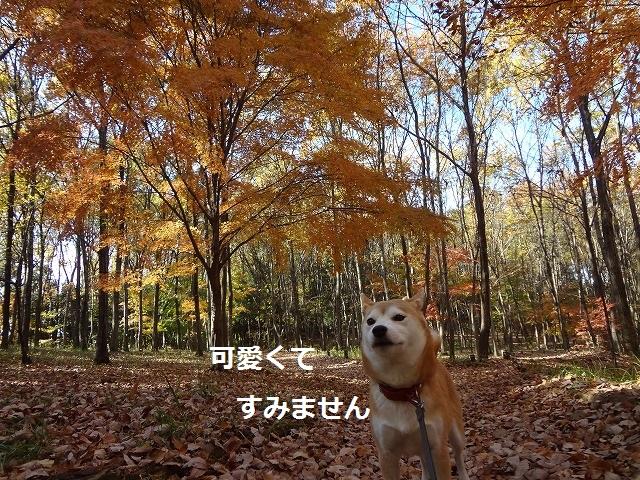 柴犬動画!普段呼んでもこない柴犬がきてくれたときの感動は凄い!昭和記念公園こもれびの丘散策路