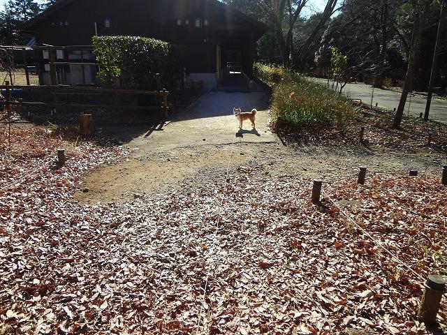 そっちには行きたくない!散歩中に抵抗する柴犬が可愛すぎてやばい!