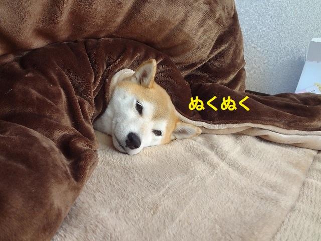 寒くてこたつから出られない柴犬まるの写真13選!君は人間なのか?