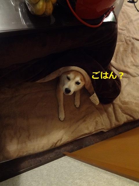 柴犬まるが食いしん坊すぎてまぬけな写真11選!柴犬ってたまらんわぁ~。