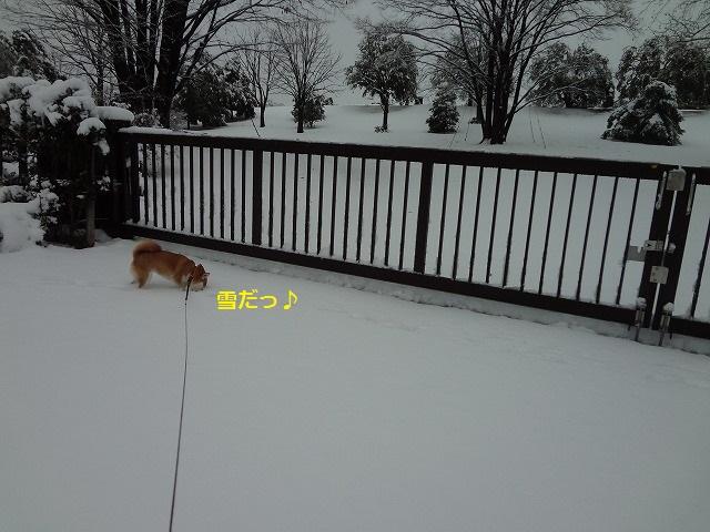 東京の雪にはしゃぐアラサー柴犬まると、アラサー主婦女。