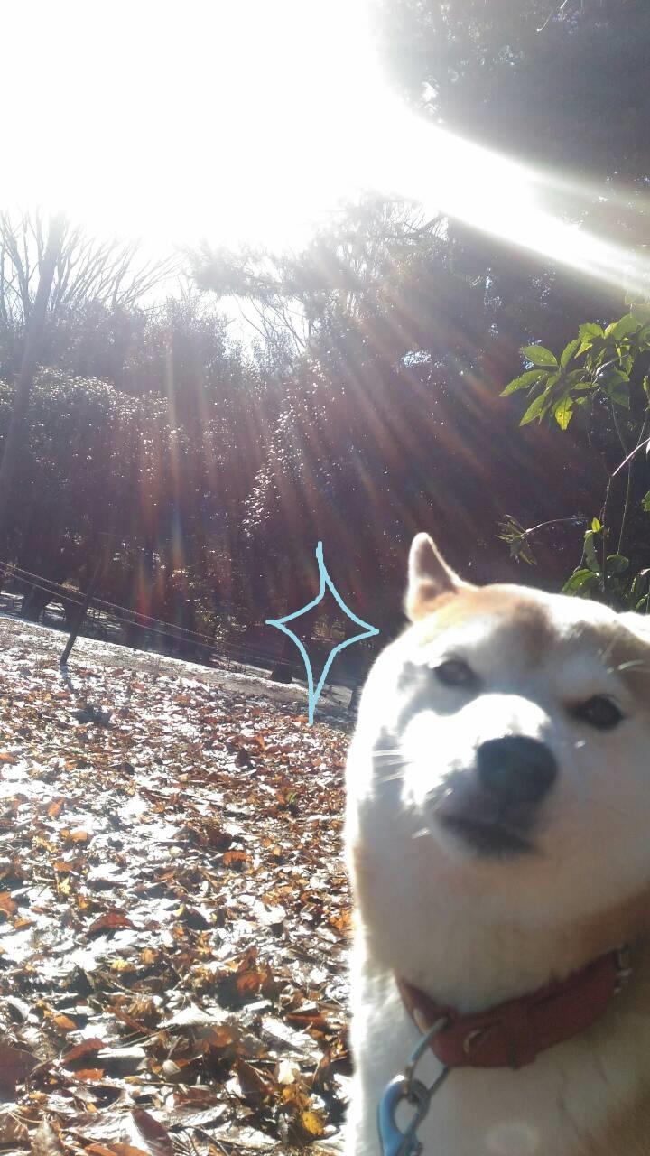 またまた立川に雪が降りました!柴犬まると昭和記念公園で北海道の雪を懐かしんでみた。