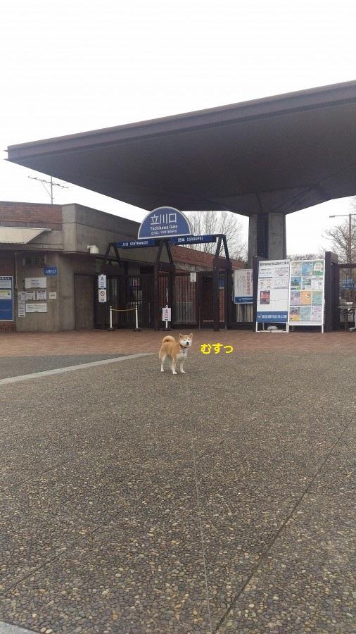 柴犬まるは飼い主がトイレに行った隙に場所を奪い取る。本当は甘えたい!?