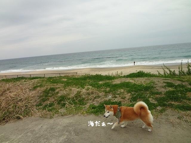柴犬まると千葉旅行!勝浦の海辺で走り回る!