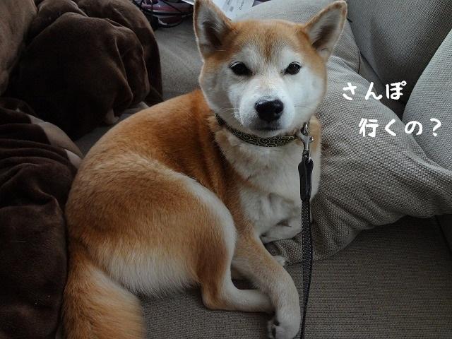 散歩に行きたくないから飼い主を見下す柴犬が憎たらしいけど可愛い