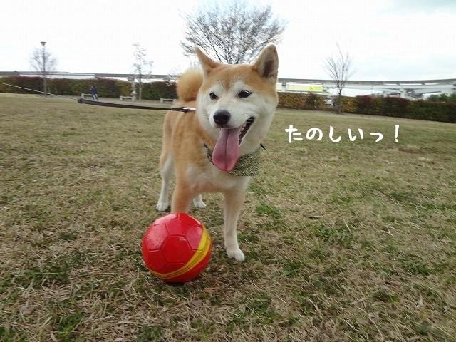 天気のいい日は立川探索!?桜の近くで柴犬まるとサッカー遊びをする!
