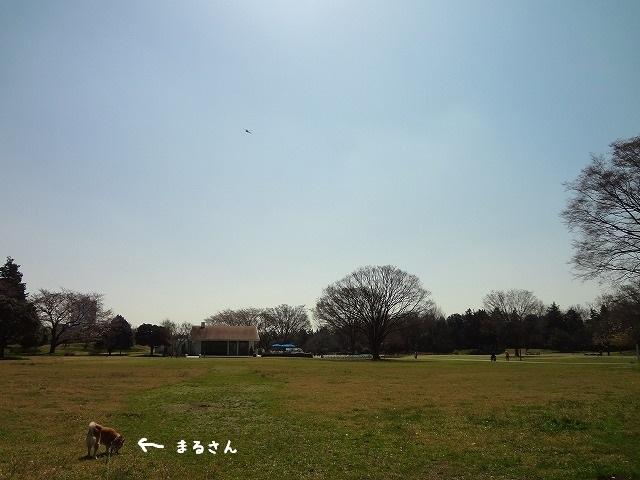 昭和記念公園に桜を見に行こう!と思ったのに柴犬まるは花より団子!?