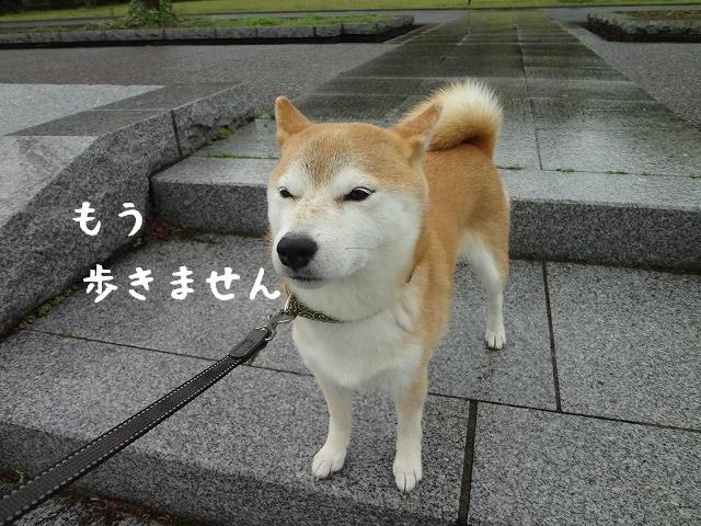 突然不機嫌になる柴犬は飼い主を翻弄する小悪魔なんです。