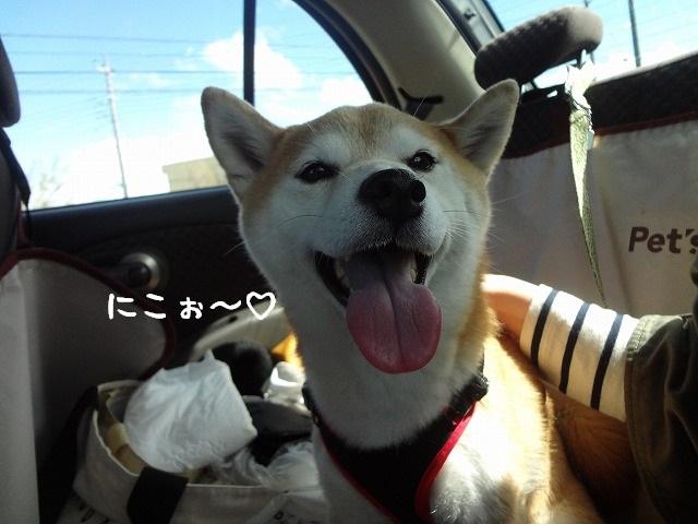 柴犬まるのミリタリーファッション!?ドライブしてたら日差しが暑すぎた・・・