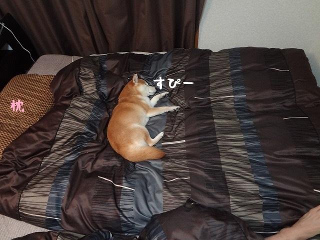 寝ている柴犬まるを起こそうとしたら凄い怒られた。