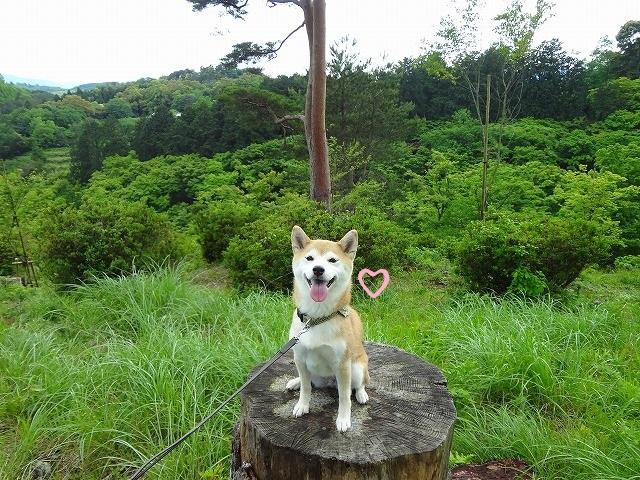 柴犬まると修善寺自然公園に行く!空気が美味しくて最高の場所だった!