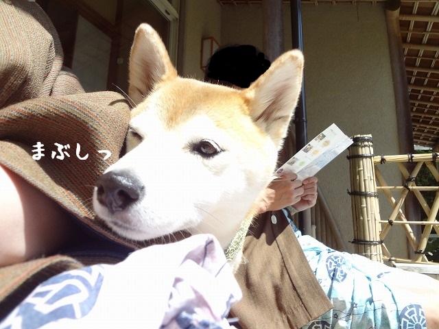 ⑤伊豆修善寺「絆」に泊まる!室内ドッグランで柴犬まると思いっきり遊んでみた!