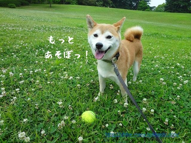 元気になった柴犬まると昭和記念公園でサッカー遊びをする。