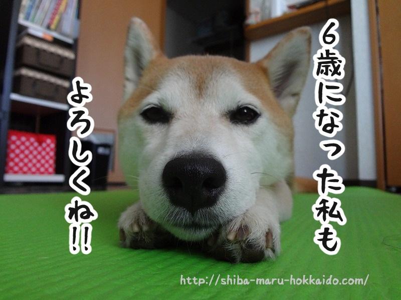 柴犬まる、6歳になりました~!パフパフゥ~!