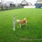 JRで愛犬と北海道の旅!芽室町「カフェ・ボタン」に柴犬まるといってきました!