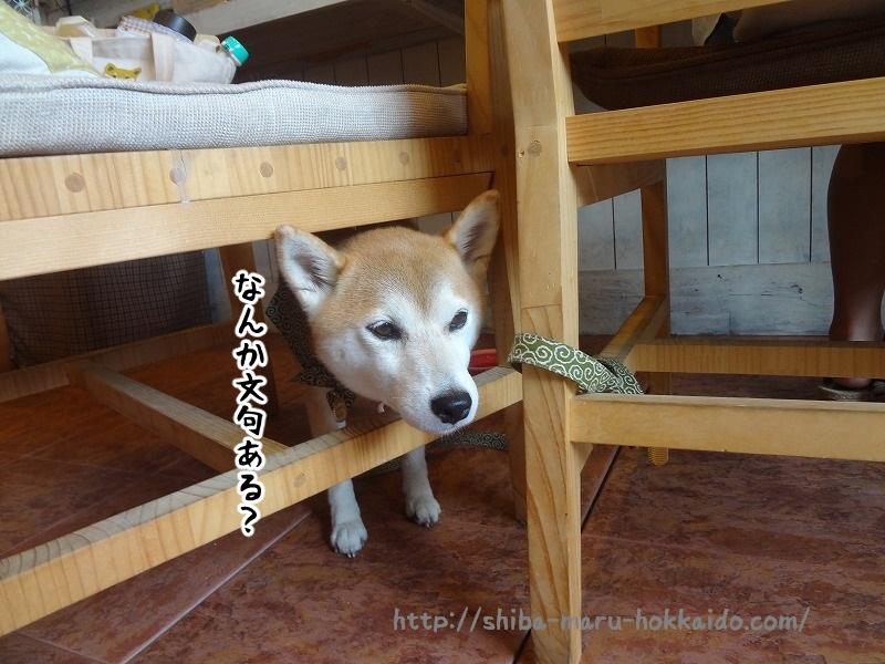 トイプーミエルちゃんが可愛い!札幌「Cafe Shael」に柴犬まるといってきました!