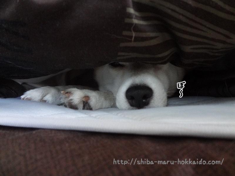 【柴犬動画】寒くて鼻だけだして寝る柴犬まるが可愛すぎた