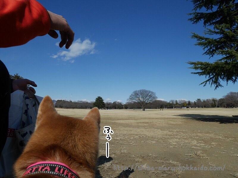 柴犬まると久しぶりに昭和記念公園へいってきました!