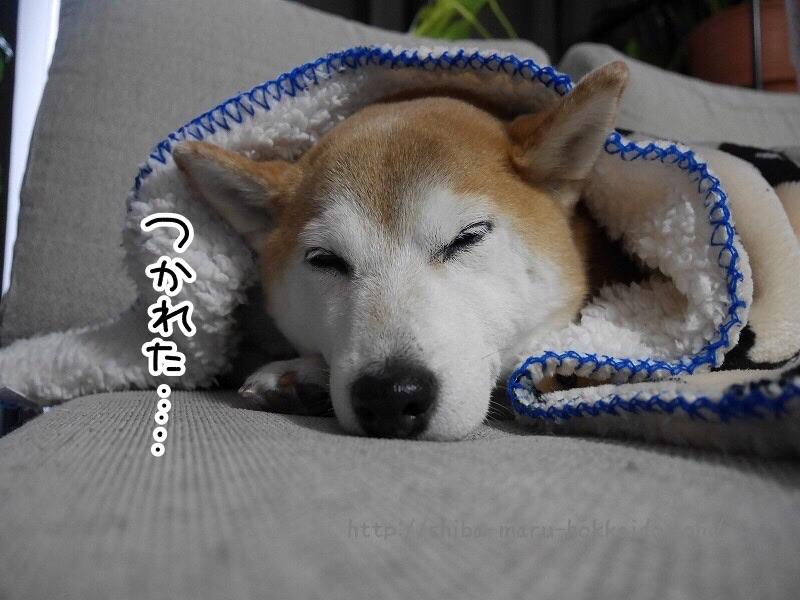 柴犬まる久しぶりのお泊り!「ペットホテル立川松栄」を利用しました!