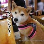 ハーネス嫌いの柴犬まるのためにトレ・ポンティのフィッビア ソフトメッシュハーネスを買ってみた!