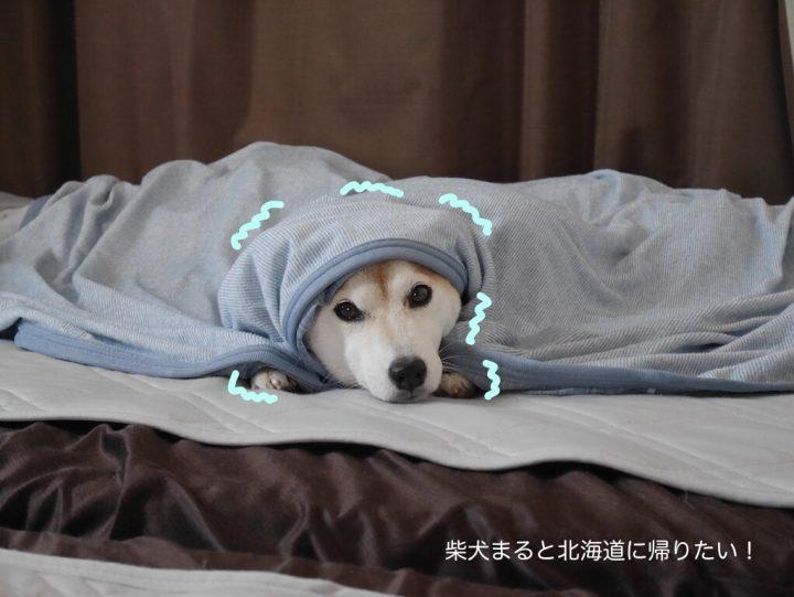雷が怖すぎて挟まっちゃった柴犬まるが可愛くてたまらない