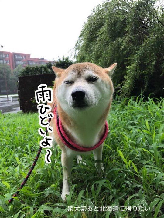 遅く来た梅雨?毎日ずぶ濡れだけど楽しそうな柴犬まるさん