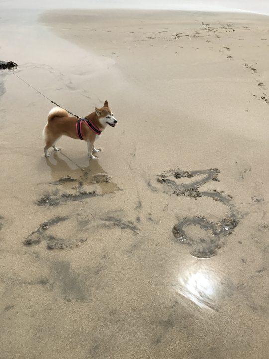 千葉の海を満喫する柴犬まるさん
