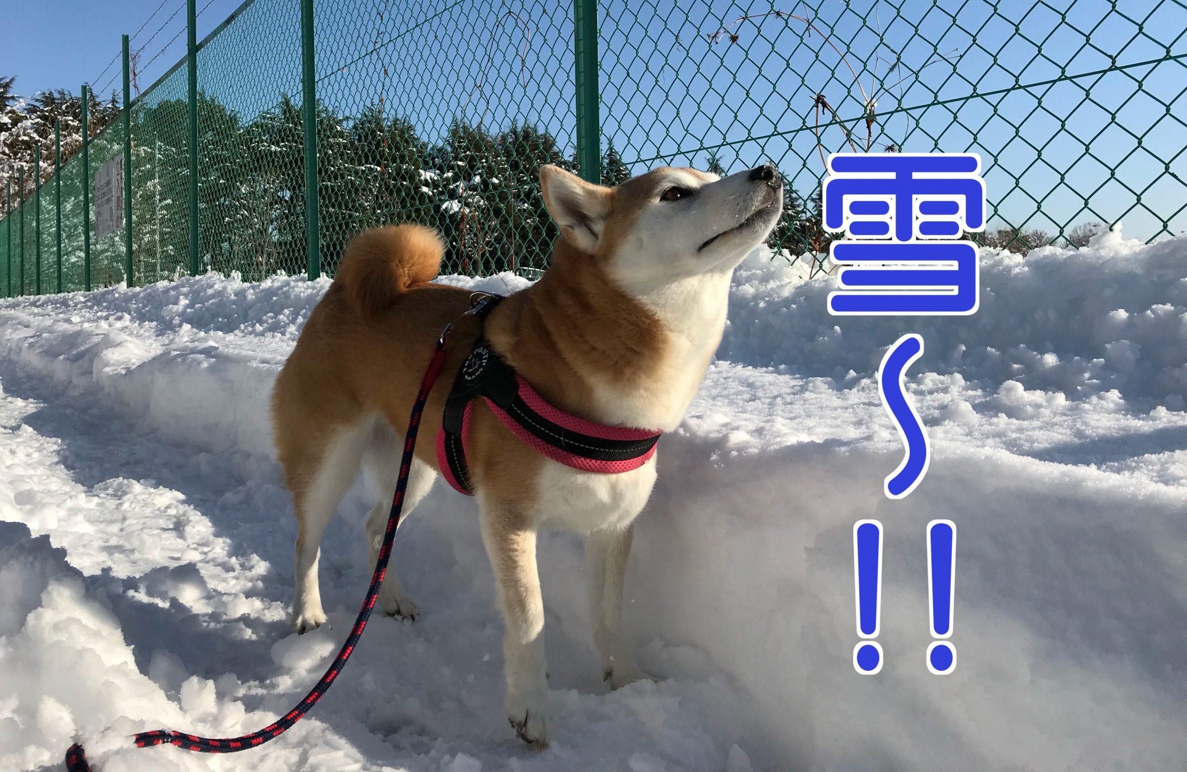 東京に雪が降ったので北海道育ちの柴犬まるさんはテンションあげあげ