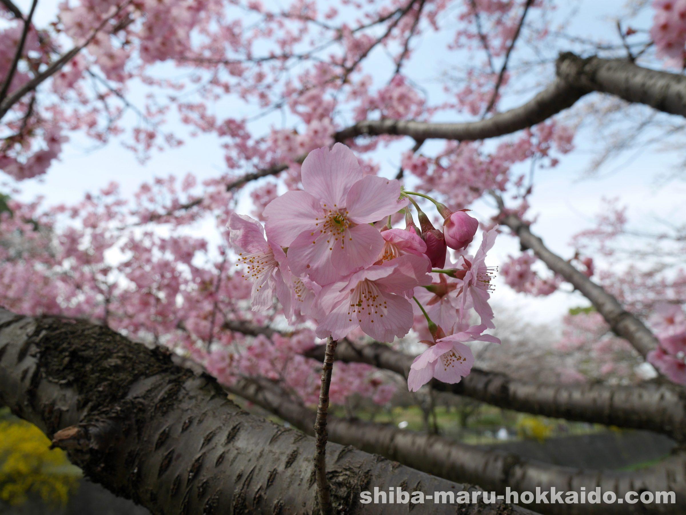柴犬まると一緒に立川の国営昭和記念公園でお花見をしてきました〜!