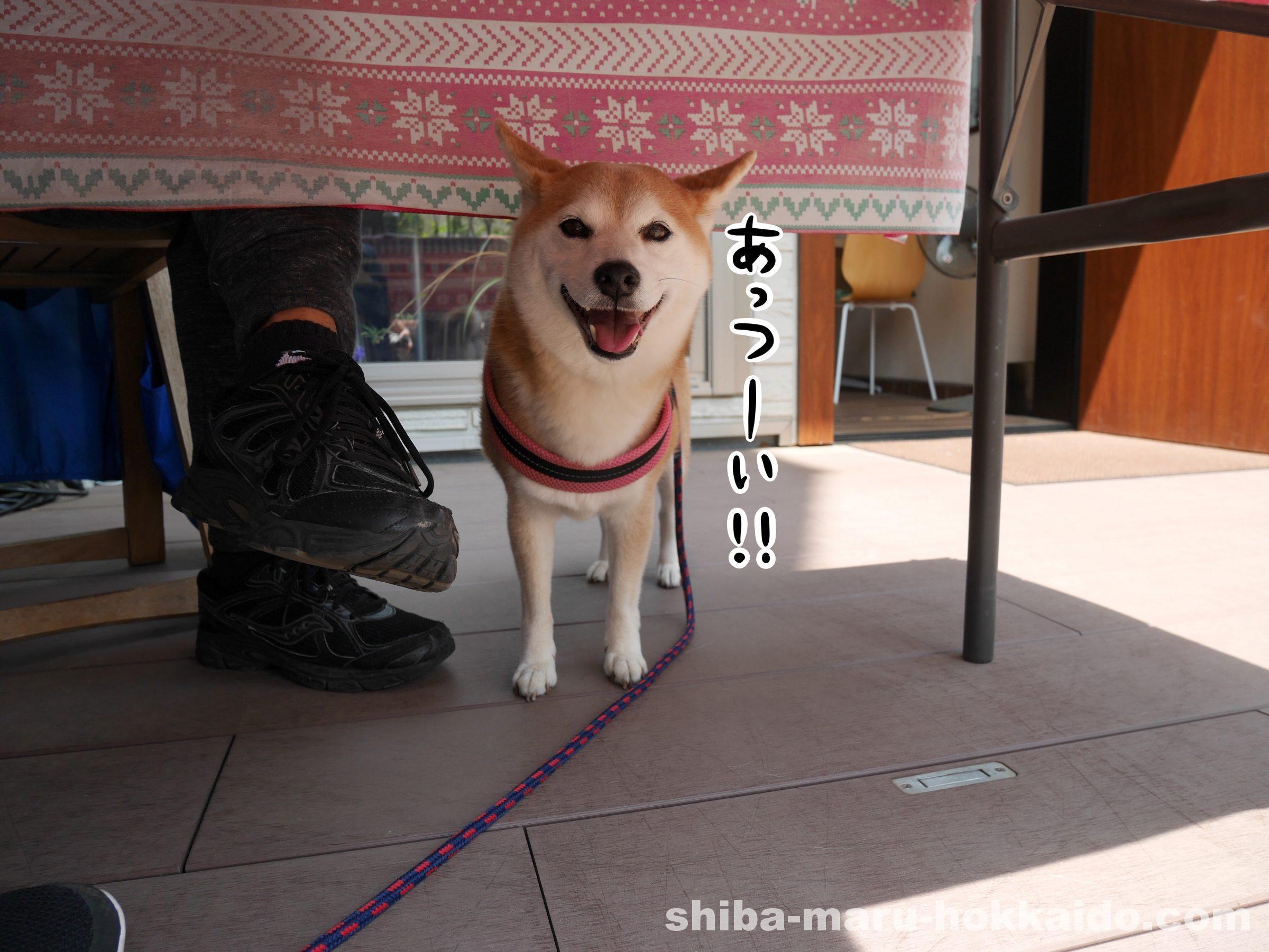【5/7追記】立川柴崎町の「cafeジロー」に柴犬まるといってきました!