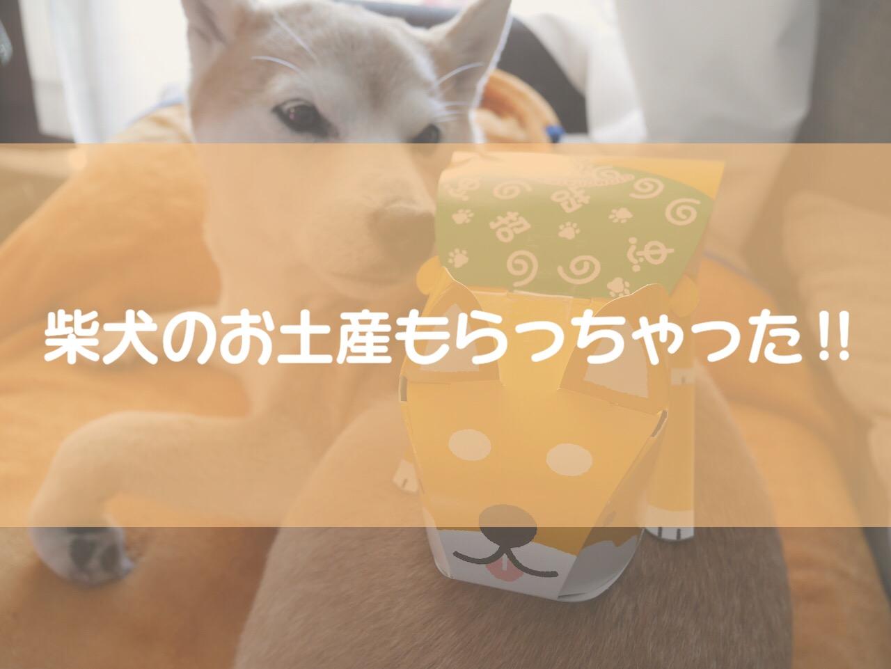 柴犬が可愛い!招かれ犬 ショコラクランチをお土産に貰いました〜!